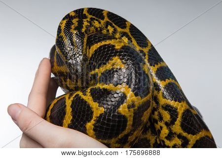 Woman holding yellow anaconda on gray background