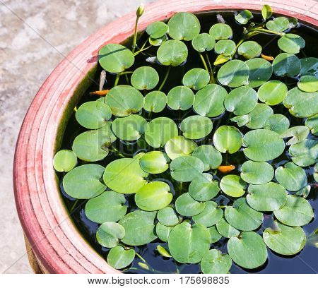Small water lily with the small fish in the earthenware pot.