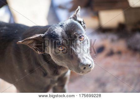 Adult Black Pet Dog Black Gullible Eyes