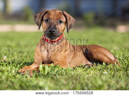 Short haired Rhodesian Ridgeback puppy lying on the grass