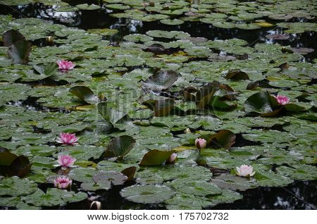 Nenuphar Nenufar Plant Nature Outside Claude Monet Garden Giverny Pink flower