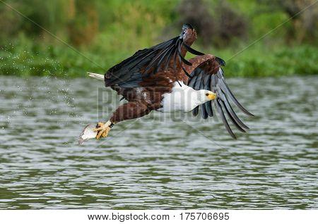 Naivasha Fish Eagle With Fish In Talons