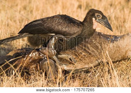 Southern Ground Hornbill Searching For Food On Wildebeest Carcass