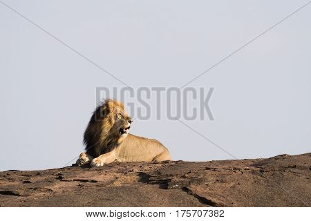 Male Lion Searching For Mate