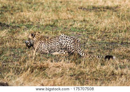 Cheetah Walking With Gazelle Prey, Maasai Mara