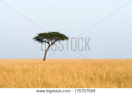Maasai Mara Lone Acacia Tree In Grassland