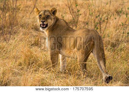 Snarling Lioness Walking On Savannah, Maasai Mara