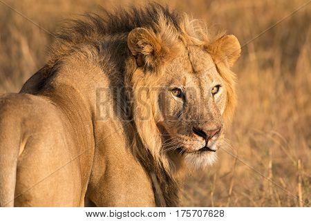 Male Lion Looking Towards Camera, Maasai Mara