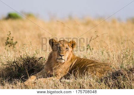 Lioness Resting On The Savannah, Maasai Mara