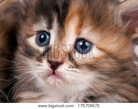 Portrait of cute little siberian kitten with sad eyes close-up
