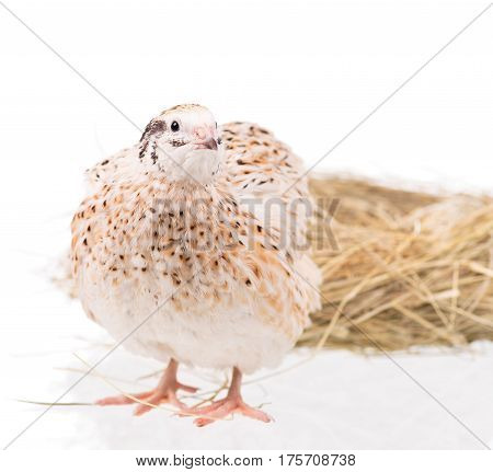 Cute quail near the straw nest over white background