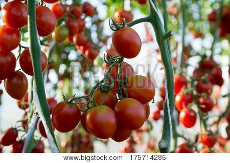 omatoes in the garden,Vegetable garden with plants of red tomatoes. Ripe tomatoes on a vine, growing on a garden. Red tomatoes growing on a branch.