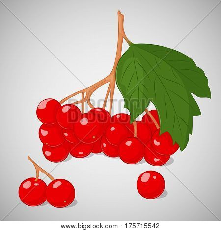 Bright juicy guelder rose or viburnum on grey background. Sweet delicious for your design in simple cartoon style. Vector illustration. Berries Collection.