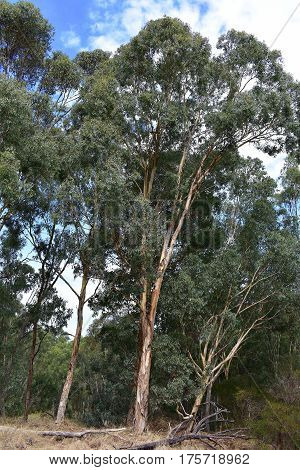 grey blue colored gum tree in bush lands on sunny day