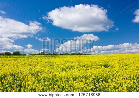 Yellow blooming flowering field and blue sky with white clouds. Landscape with yellow flowers of rapeseed. Russia Europe.
