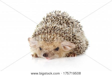 Prickly African hedgehog lying on a white background
