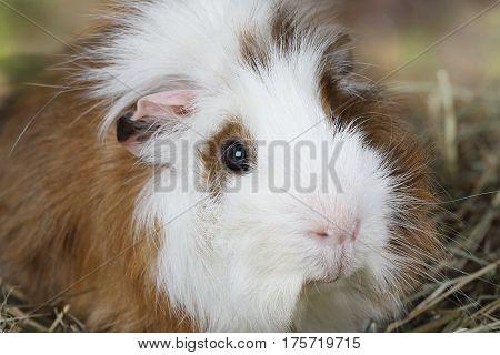 Portrait of a domestic guinea pig closeup photo