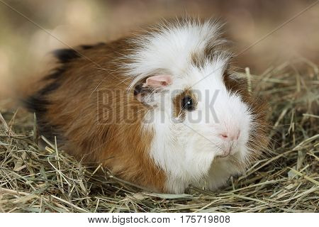 Portrait of a domestic guinea pig lying on a hay
