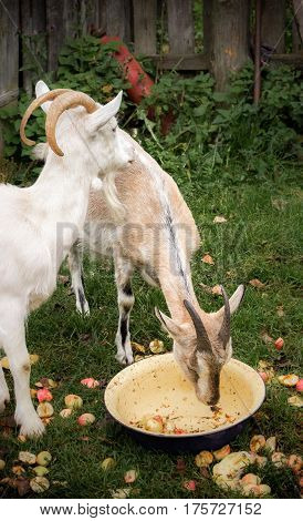 Adult white goat village and Alpine goat breed with large horns. Brown goat eating apples out of the pelvis.