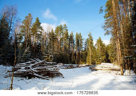 The trunks of pine felled in the winter forest.