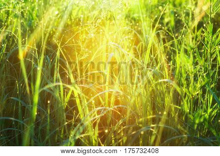 Morning dew drops on spring grass in backlight