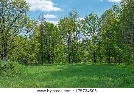 Deciduous trees growing on the forest glade on a background of blue sky and clouds