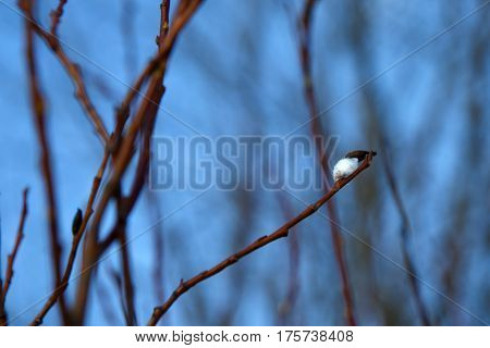 Spring twig of the young buds of the willow and the clear blue blue sky. A great awakening of the early springtime. Forest tree bloom.