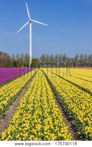Field Of Yellow Tulips And A Wind Turbine