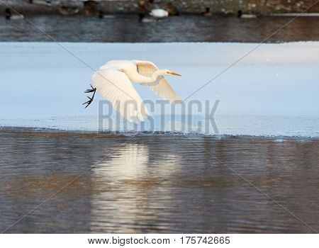 Great Egret Flying Over Frozen River In Sunlight In The Winter.
