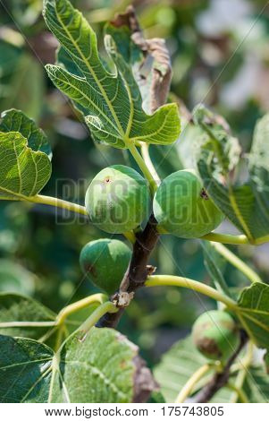 Figs On The Fig Tree