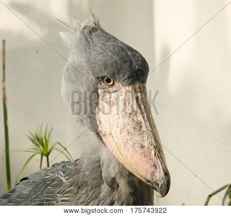 Rare african whale-headed stork - Balaeniceps rex