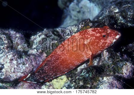 A Red Flagtail Grouper Fish, Cephalopholis urodelis sits on coral ready to ambush prey on a Pacific reef at  Kwajalein Atoll