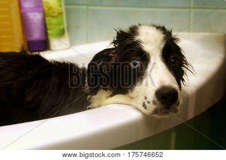 Washing of sad Border Collie in bath