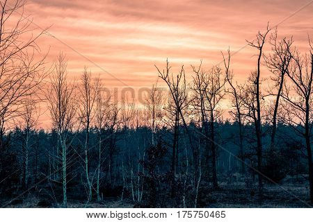 Beautiful panorama of pine forest with sunset . Coniferous trees. Sustainable ecosystem