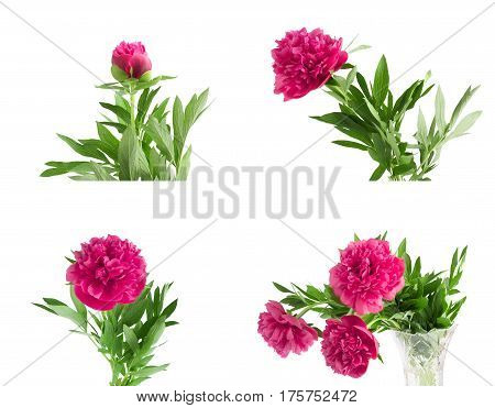 Set The Beautiful Bouquet Of Pink Peonies On  White Background