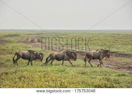 Herd of Wildebeest in the African Savannah