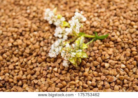 the buckwheat flower photographed by a close up lying on buckwheat grains