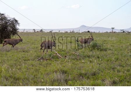 Three oryx grazing in the savanna of West Tsavo Park in Kenya
