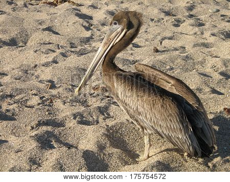 Pelican standing on a sandy beach in California.