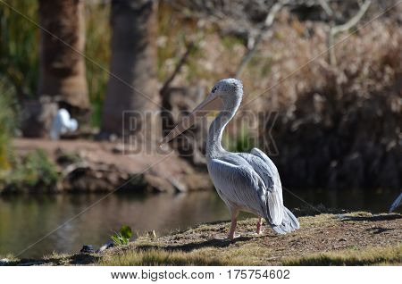 Large white pelican standing at the edge of a pond.