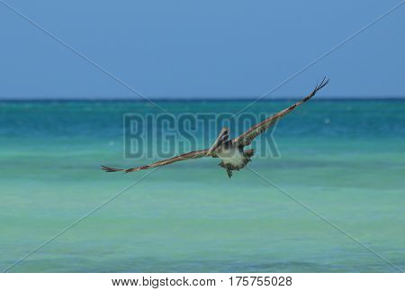 Gorgeous pelican flying in the Carribean over the water.