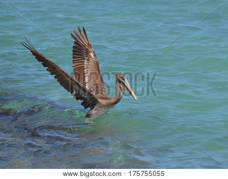 Pelican landing in the tropical blue waters of Aruba.