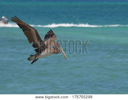 Gorgeous pelican in flight over water in Aruba.