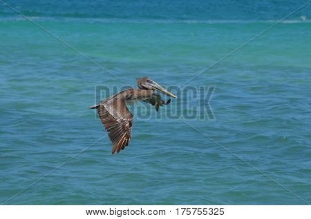 Pelican flying over the water in Aruba.