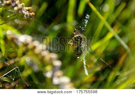 Wasp spider on web in morning light