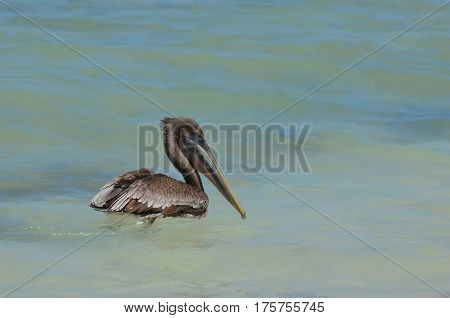 Pelican floating in tropical waters with a hooked beak.