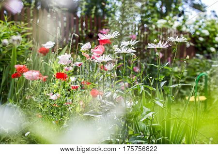 Flowering poppies and chamomiles in the summer garden