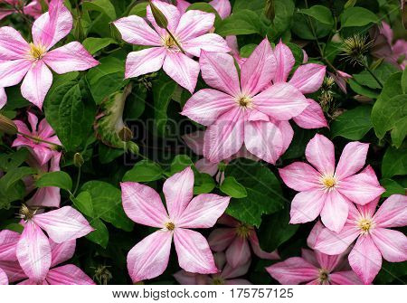 Blooming light pink clematis on a background of green foliage