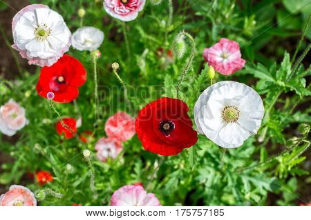 Blooming poppies in a summer garden against a background of green grass