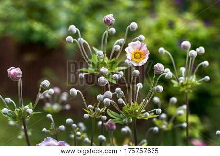 Branches of a blooming pink anemone in a summer garden